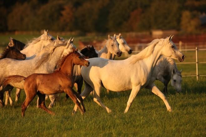 Herd in the evening